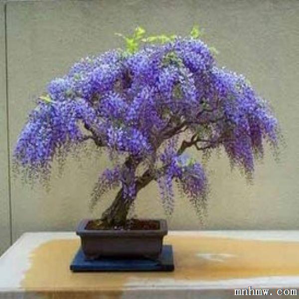紫藤是豆科紫藤属的多年生木质藤本植物。花紫色,花期46月份,成总状花序下垂,荚果扁平,长条状,观赏性较强。紫藤性喜温暖湿润和阳光,耐阴,耐旱,并喜疏松、肥沃、排水落石出良好的向阳地,忌大风。 紫藤盆景的制作培育方法如下: 一、苗源 可行播种、扦插养殖。播种时间在早春,要求气温为1013。扦插养殖可于秋季进行。扦插时,选当年生茎部枝条作插穗810厘米。进行带踵扦插,生根较快。还可到山野挖取野生的老根桩,养坯1年后,即可上盆加工。 二、造型 1、上盆 春季23月份,紫藤长叶之前栽种比较好。盆土