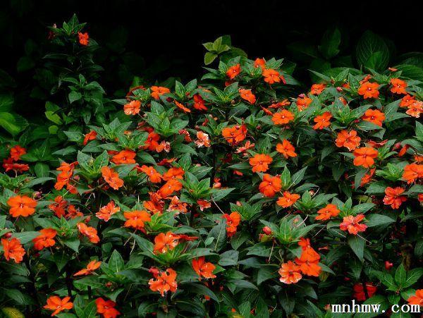 凤仙花枯萎的样子-新几内亚凤仙