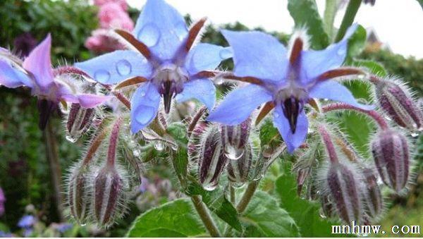 紫草科(boraginaceae)一年生草本植物