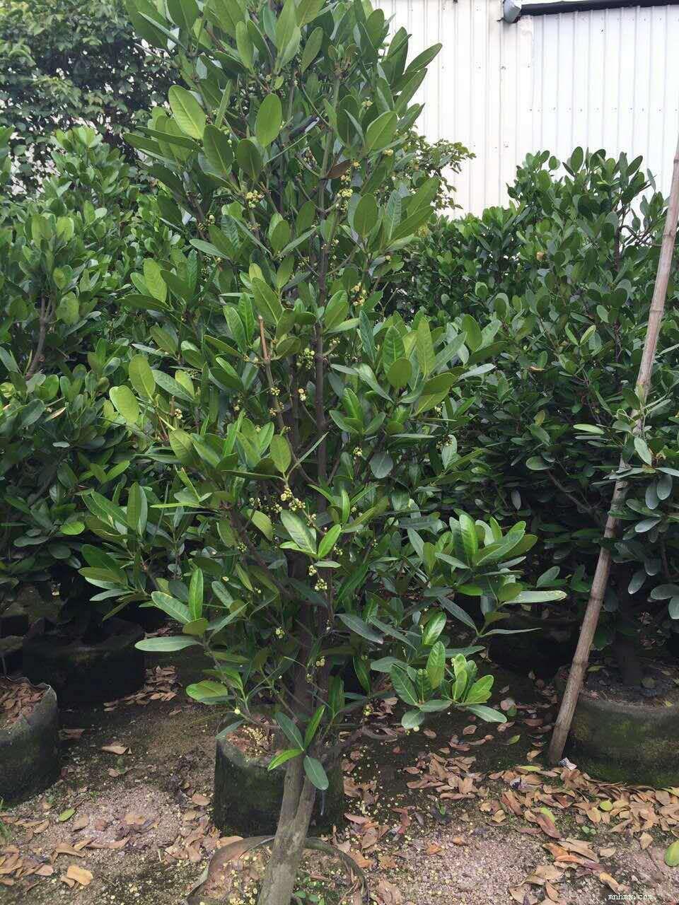 福木各种规格袋苗和盆栽,树形美观,价格合理,欢迎惠顾.