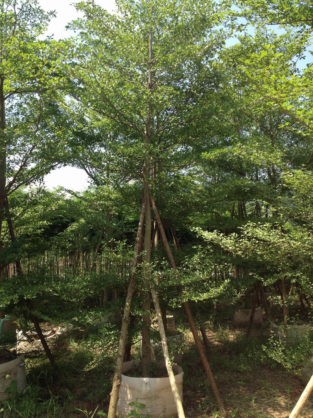风景树小叶榄仁